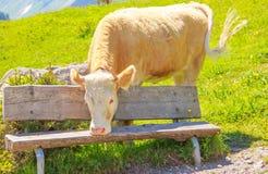 Ein Ochse, der auf dem Graswiesengebiet hinter der Holzbank im ländlichen Berggebiet steht Lizenzfreie Stockfotos