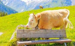 Ein Ochse, der auf dem Graswiesengebiet hinter der Holzbank im ländlichen Berggebiet steht Stockfoto
