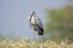 Ein offener berechneter Storch steht von einem beschäftigten Flug still lizenzfreies stockfoto