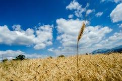 ein Ohr des Kornes zwischen Gelbem und Blauem Lizenzfreie Stockfotos