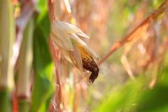 Ein Ohr des reifen Mais stockfotografie