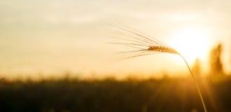 Ein Ohr des Weizens bei Sonnenuntergang Farbraum Adobes RGB Stockbild