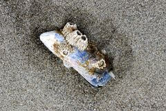 Ein Ohrschneckenoberteil, das mit Oberteilen umfasst wird, liegt auf dem Sand nach einer Ebbe lizenzfreies stockbild