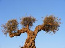 Ein Olivenbaum Stockbild