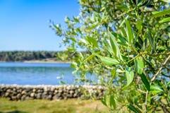 Ein Olivenbaum durch das adriatische Meer, die Insel von Krk, Kroatien Stockfotografie