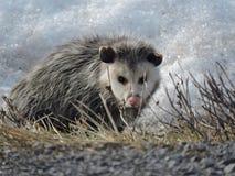 Ein Opossum auf Sunny Winters Day! lizenzfreie stockfotos