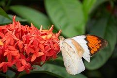 Ein orange und weißer Schmetterling auf Blume stockfotos