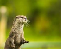 Ein Orientale Klein--kratzte Otter/cinerea/Asiat Klein-gekratzten Otter Aonyx Lizenzfreies Stockbild