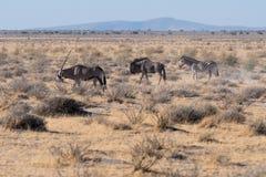 Ein Oryx führt ein Gnu und ein Zebra in Etosha N P stockfotografie