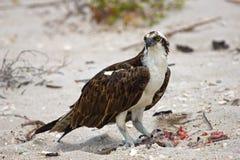Osprey, der das Mittagessen am Strand isst lizenzfreie stockfotos