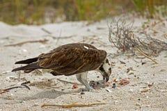Osprey, der das Mittagessen am Strand isst Stockbild