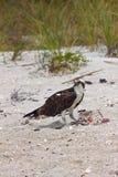 Osprey, der das Mittagessen am Strand isst Lizenzfreies Stockfoto