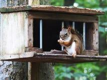 Ein Oststreifenhörnchen Stockfoto