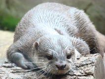 Ein Otter, der auf einem Klotz stillsteht Lizenzfreie Stockfotos