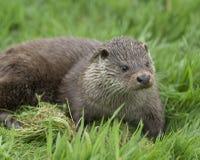 Ein Otter, der rechts schaut Lizenzfreie Stockfotos