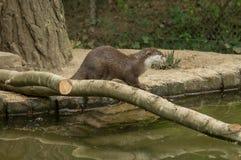 Ein Otter nahe dem Wasser Lizenzfreie Stockbilder