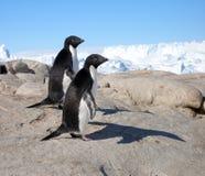 Ein paar Adelie-Pinguine Lizenzfreie Stockbilder