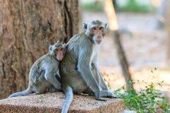 Ein Paar Affe (Makaken Krabbe-essend) Stockfotos