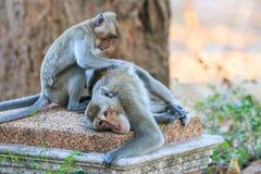 Ein Paar Affe (Makaken Krabbe-essend) Lizenzfreies Stockfoto