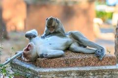 Ein Paar Affe (Makaken Krabbe-essend) Lizenzfreies Stockbild