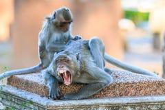 Ein Paar Affe (Makaken Krabbe-essend) Stockbild