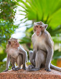 Ein Paar Affe (Makaken Krabbe-essend) Lizenzfreie Stockfotografie