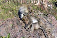 Ein Paar Affen in der offenen Natur, kümmern sich um Auf Vulcan Batur Bali Die Höhe von 2000 Metern über Meeresspiegel E Stockbilder