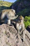 Ein Paar Affen in der offenen Natur, kümmern sich um Auf Vulcan Batur Bali Die Höhe von 2000 Metern über Meeresspiegel E Lizenzfreies Stockbild