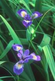 Ein Paar ` blauer Sumpf-Schwertlilie ` Iris ` s in der Blüte Stockbilder