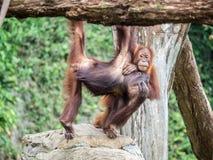 Ein Paar Bornean-Orang-Utan Pongo pygmaeus hängen heraus Stockfoto