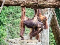 Ein Paar Bornean-Orang-Utan Pongo pygmaeus hängen heraus Stockfotografie