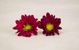 Ein Paar Burgunder-Gänseblümchenchrysanthemen stockfoto