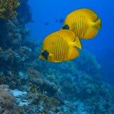 Ein Paar Buterfly Fische lizenzfreie stockfotos