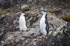Ein Paar Chinstrap-Pinguine Lizenzfreie Stockbilder