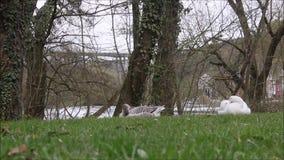 Ein Paar der Gans stillstehend neben Fluss stock video footage
