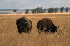 Ein Paar des Büffels im amerikanischen Grasland stockfotografie