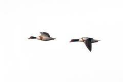 Ein Paar des Erwachsenen, Shelduck im Flug zusammen Stockfoto