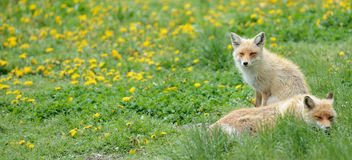 Ein Paar des Fuchses Lizenzfreies Stockfoto