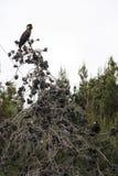 Ein Paar des Gelb-angebundenen schwarzen Kakadus, der in einem Baum sitzt stockbild