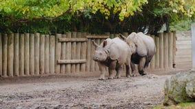 Ein Paar des Nashorns gehend entlang den Zaun stock footage