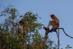 Ein Paar des niederländischen Affen sitzend auf einer Niederlassung eines hohen Baums Kumai, Indonesien Stockbilder