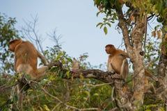 Ein Paar des niederländischen Affen sitzend auf einer Niederlassung eines hohen Baums u. des x28; Kumai Lizenzfreie Stockfotografie