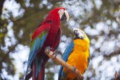 ein Paar des Papageien stockbild