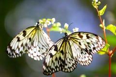 Ein Paar des Schmetterlinges auf einer Anlage Stockfotografie
