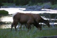 Ein Paar Elche in Yellowstone Lizenzfreies Stockfoto