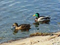 Ein Paar Enten Stockbild