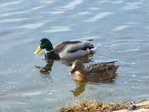 Ein Paar Enten Stockfotos