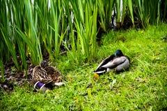 ein Paar Enten, die auf dem grünlichen Ufer mit Hürden im Hintergrund stillstehen stockfotos