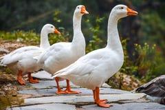 Ein paar Enten, die heraus schauen Lizenzfreie Stockfotografie