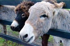 Ein Paar Esel Stockbild